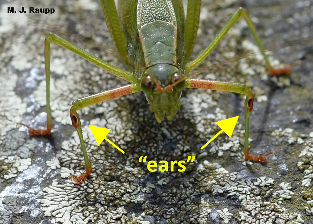 The dark chambers on the front legs of the katydid collect vibrations in the air enabling it to hear the calls of other katydids.
