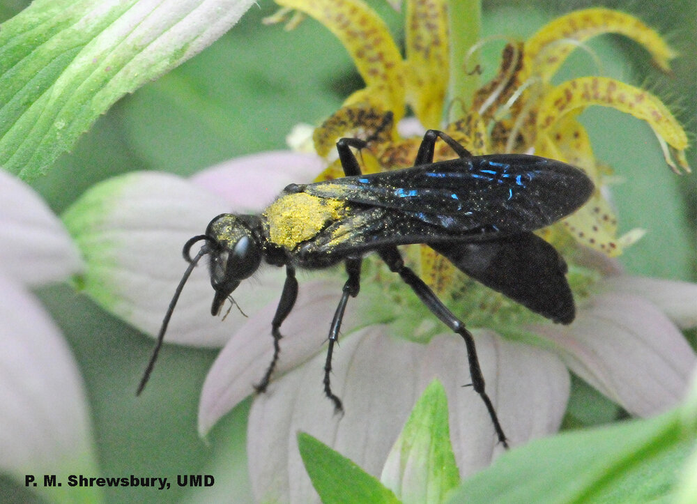 After visiting horsemint, the back and head of the great black wasp are coated with pollen.