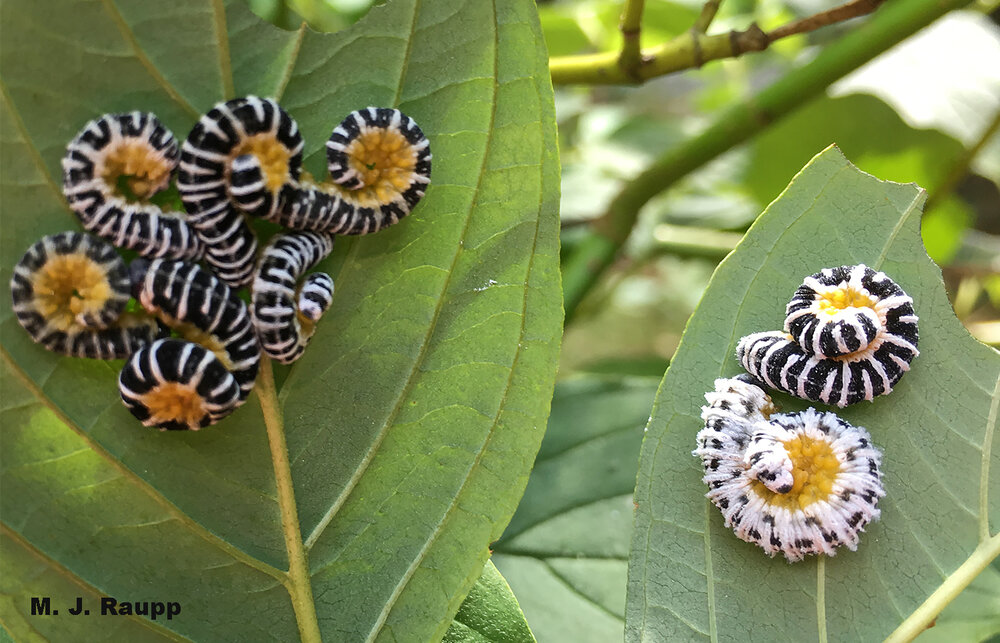 Beautiful dogwood sawfly caterpillars assume their characteristic curly pose between bouts of defoliating dogwoods.
