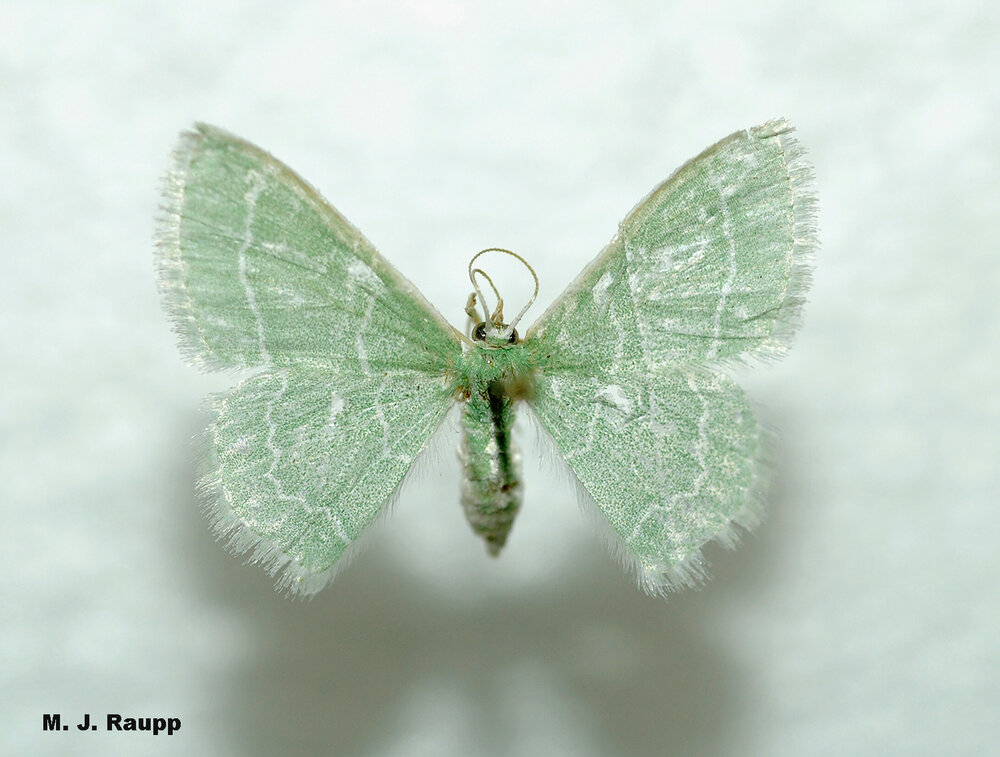 The camouflaged looper turns into the pretty wavy-lined emerald moth.