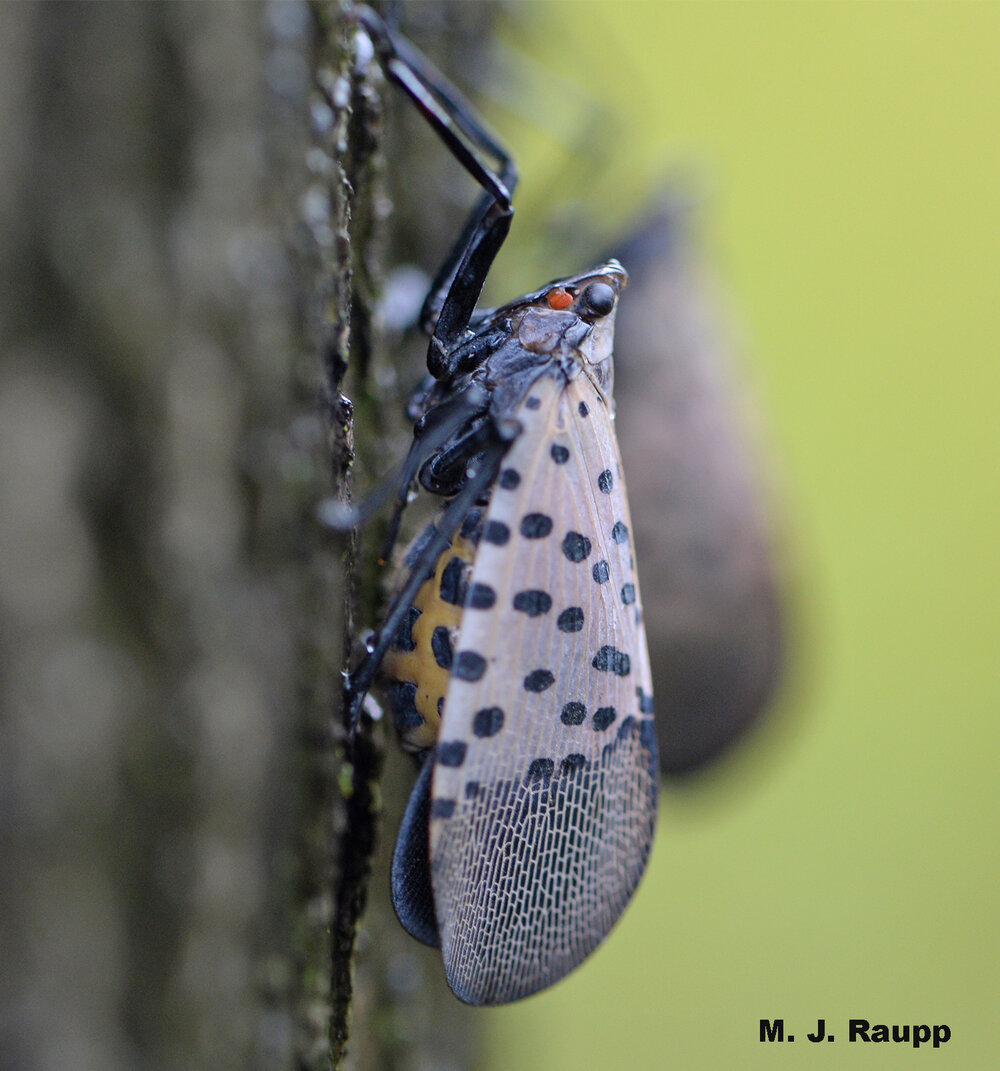 Rotund spotted lanternflies like this one with a bright yellow underbelly are generally mated females with limited flight ability.