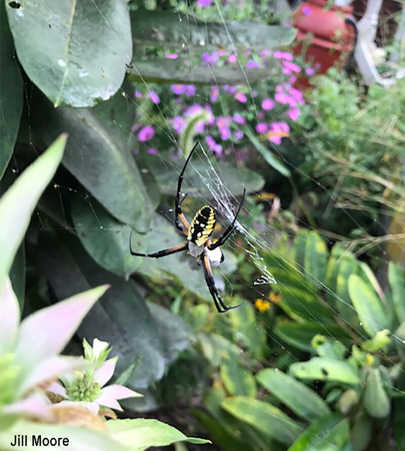 Gardens around the DMV seem to be having a bumper crop of black and yellow garden spiders this year. Image credit: Jill Moore