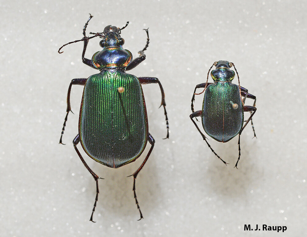Calosoma wilcoxi (right) is about one third the size of its cousin, the fiery searcher Calosoma scrutator (left). Both climb trees to devour caterpillars.