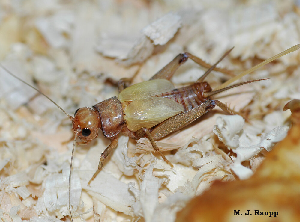 "Crickets become ""suicidal"" after being infected by horsehair nematode worms. Click here to see images of horsehair worms."