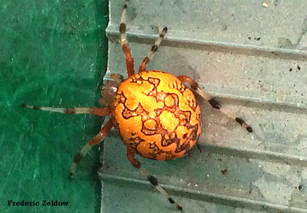 Marbled orb weavers can be found in residential landscapes, fields, and forests from spring until late autumn in Maryland. Despite its scary appearance this orb-weaver poses little threat to humans greater than 2 inches tall. Photo credit: Frederic Zeldow
