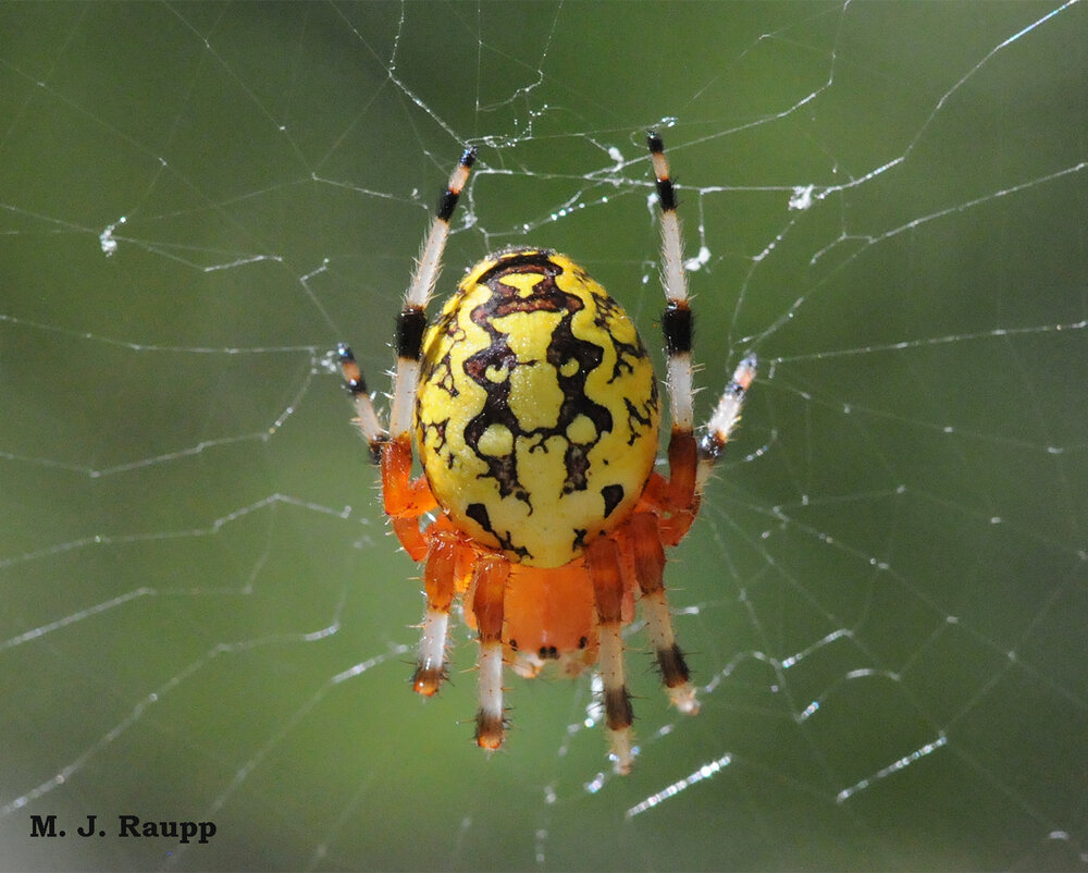 Markings of this immature marbled orb-weaver are stunning.
