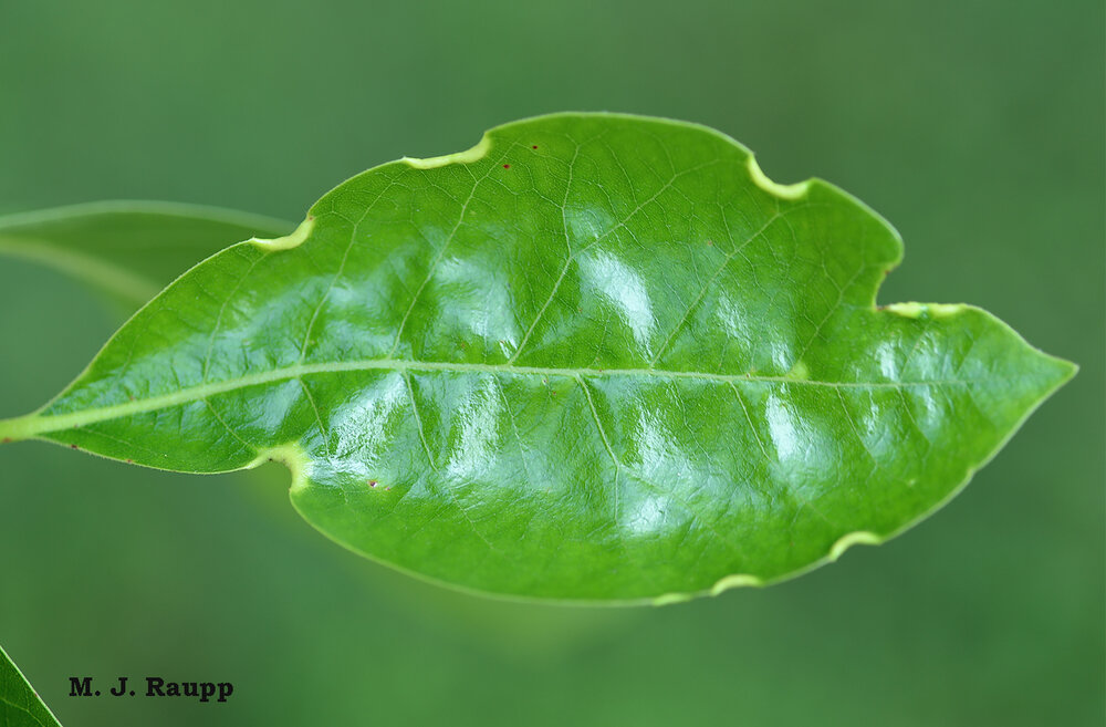 Early in the growing season, phylloxerids induce small crescent-shaped galls along the margins of leaves.