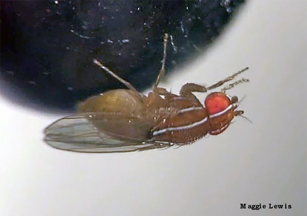 Fruit flies like this African fig fly may join Thanksgiving festivities in your home. Photo credit: Maggie Lewis