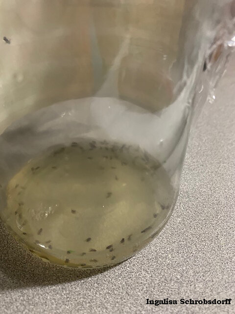 Dozens of fruit flies could not escape the irresistible odors of vinegar. Once inside the jar, a perforated plastic cover prevented escape and sealed their fate. Photo credit: Ingalisa Schrobsdorff