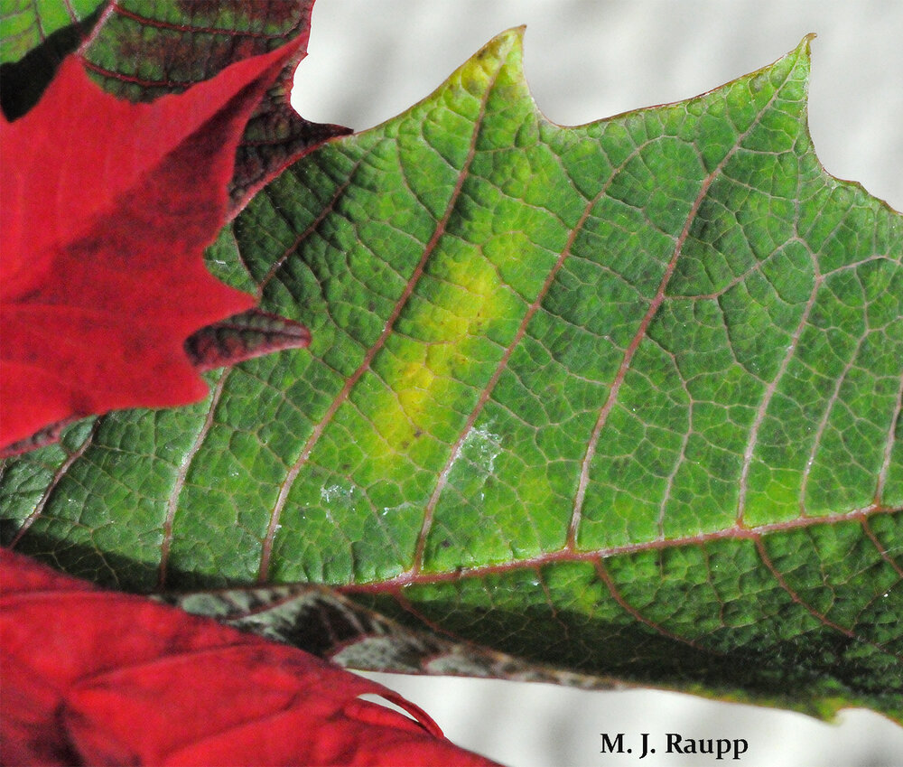 Yellow patches on poinsettia leaves may be a sign of whiteflies feeding below.