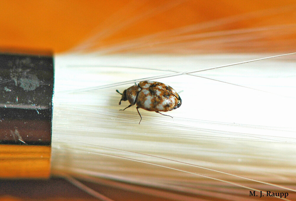 But a few millimeters in length, tiny, handsome carpet beetles sometimes appear in my home on wintry days.