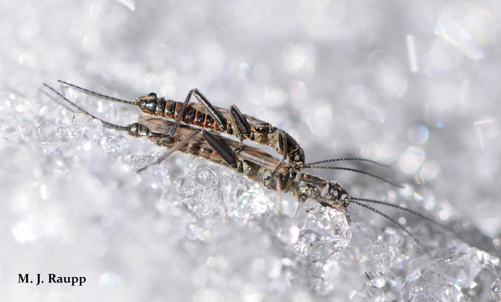 Snow and ice don't cool romance for amorous winter stoneflies.