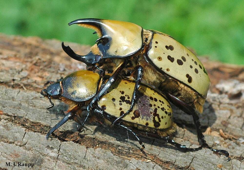 This pair of Hercules beetles doesn't mind a public display of intimacy. By guarding his mate, he may prevent other suitors from mating with her. Males bear impressive horns used in combat with other males.