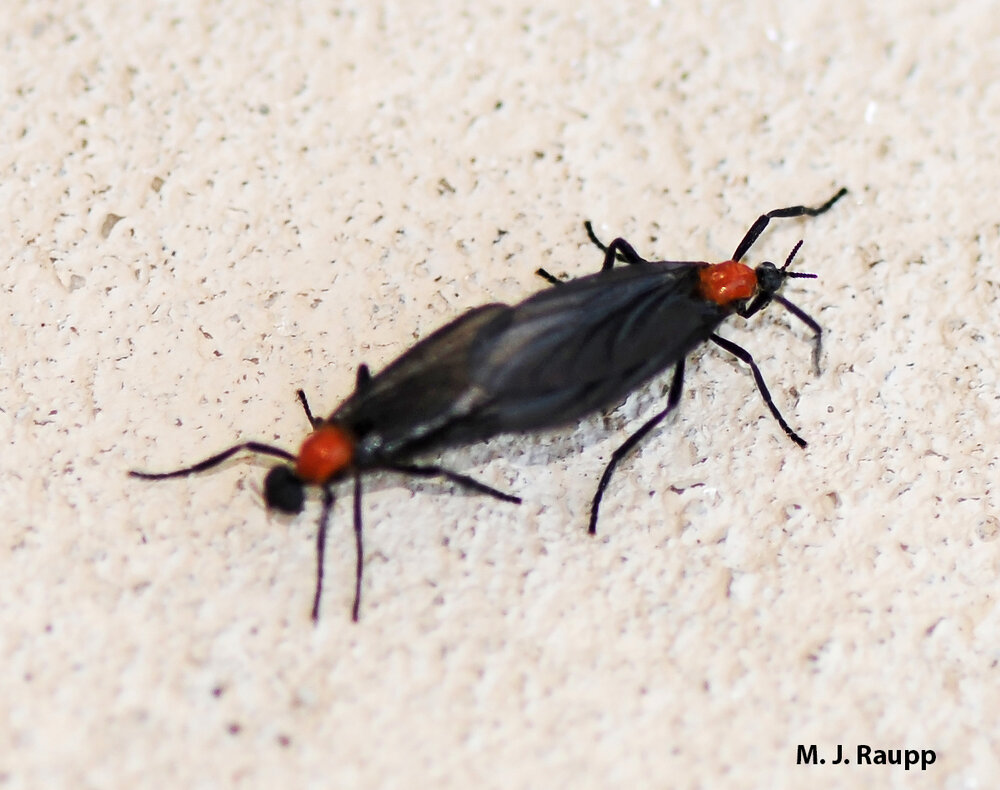 Lovebugs conjoin for hours during the mating season. FYI: male on the left, female on the right.