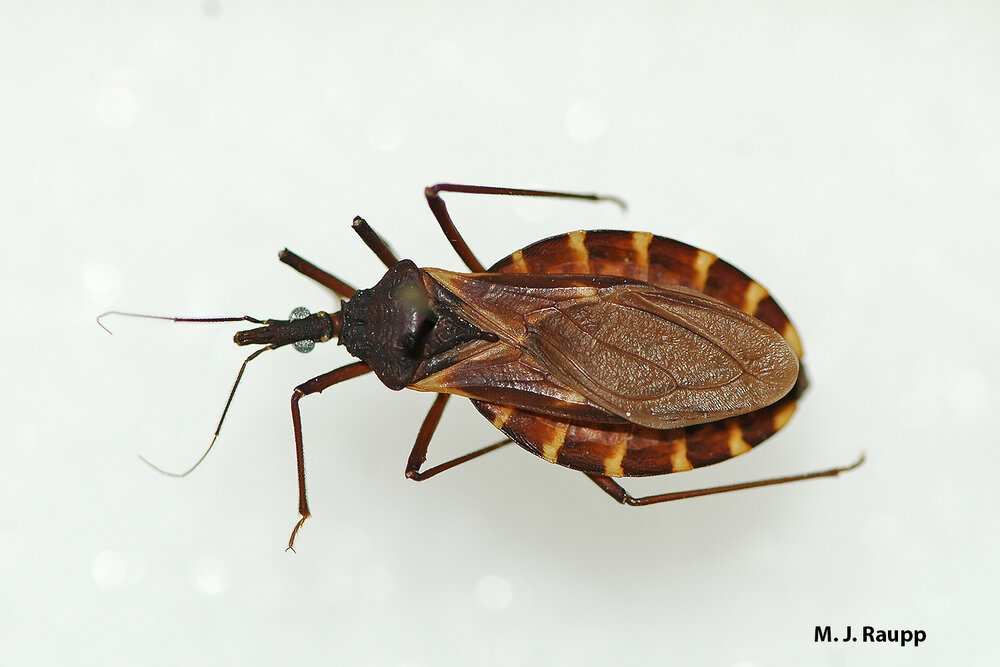 Kissing bugs get their name by sucking blood from tender spots, including lips of hapless human victims.