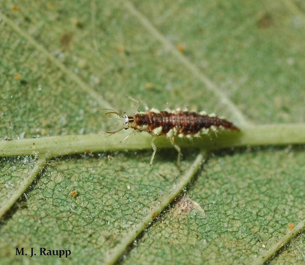 Assisting spider mite destroyers are alligator-like lacewing larvae.