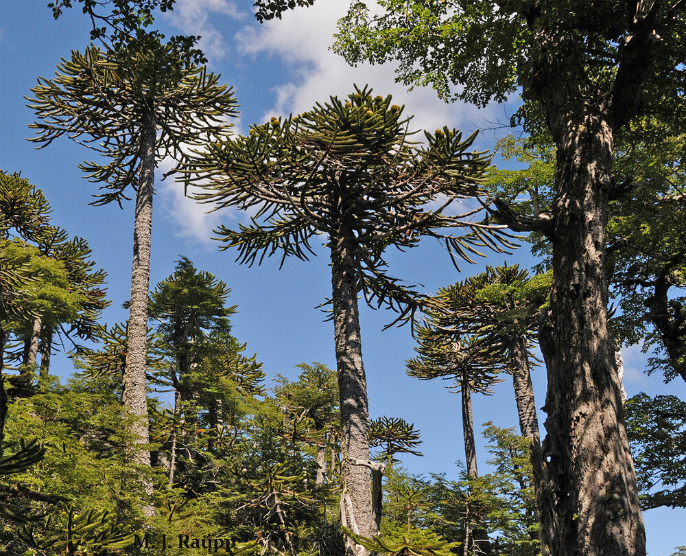 Living fossils from the time dinosaurs roamed the earth, threatened Araucaria trees are the national tree of Chile.