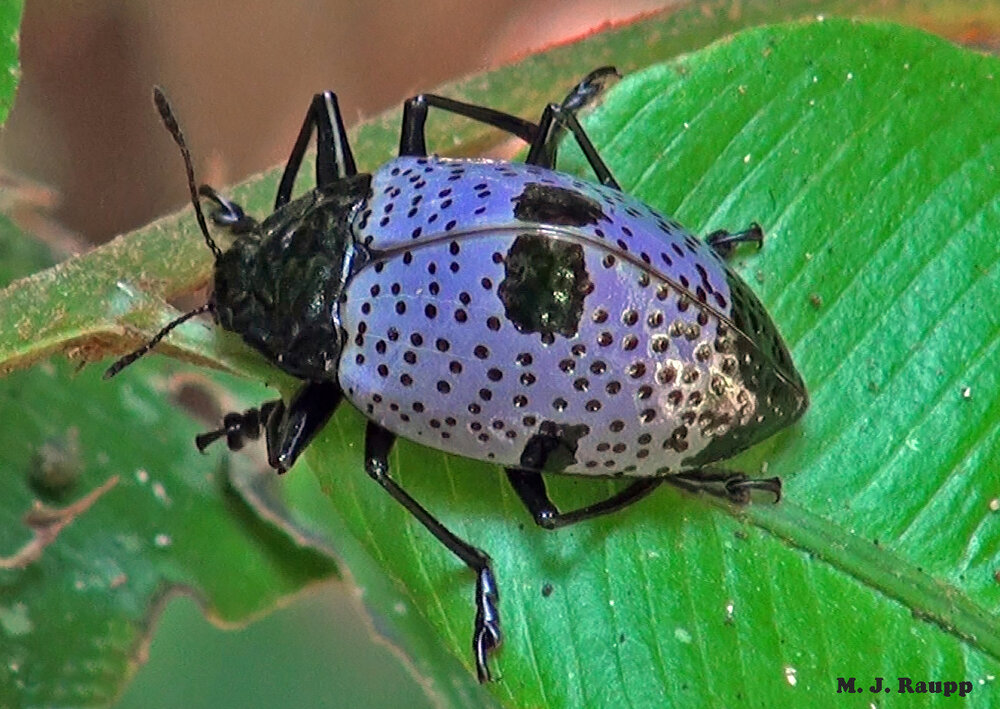 Gibbifer is one genus of spectacularly beautiful pleasing fungus beetles found in the Amazonian rainforest.