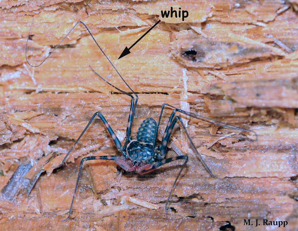 Greatly elongated front legs enable the whip spider to sense food, mates, and danger.