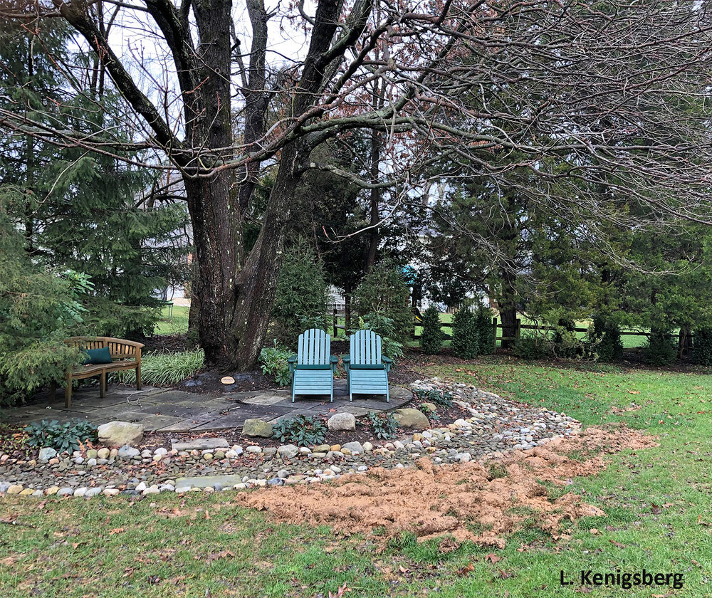 Beneath this stately old tree, a raccoon ravaged this lawn in early March. Were periodical cicadas the object of its gastronomic desire? Image credit: L. Kenigsberg