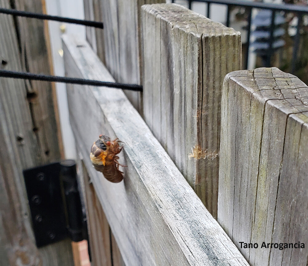 The vanguard of Brood X periodical cicadas seen on a garden fence in Towson, Maryland last week serves notice that the main event is just a few weeks away. Photo credit: Tano Arrogancia
