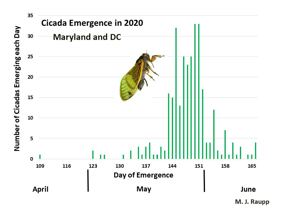 Brood X cicadas appearing one year early in the spring of 2020 provide clues as to when cicadas will appear in 2021 in Maryland and DC. The first cicada to emerge was seen on April 19 and the last on June 14. If 2021 is anything like 2020, outliers will appear in April, but the great cicada tsunami hits the last two weeks of May. By Memorial Day weekend the cicadapalooza will be rocking the treetops here in the DMV. Graph credit: Michael J. Raupp
