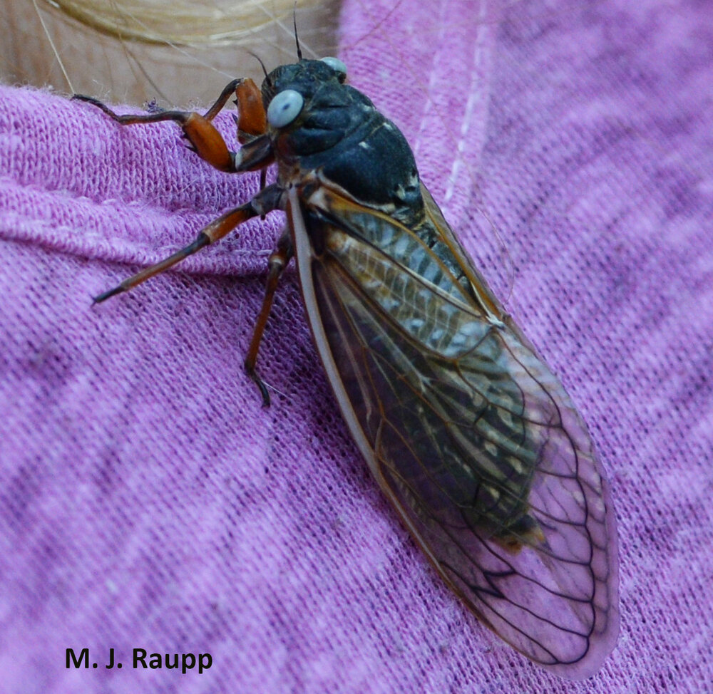 Just what is the reward for finding a blue eyed cicada?