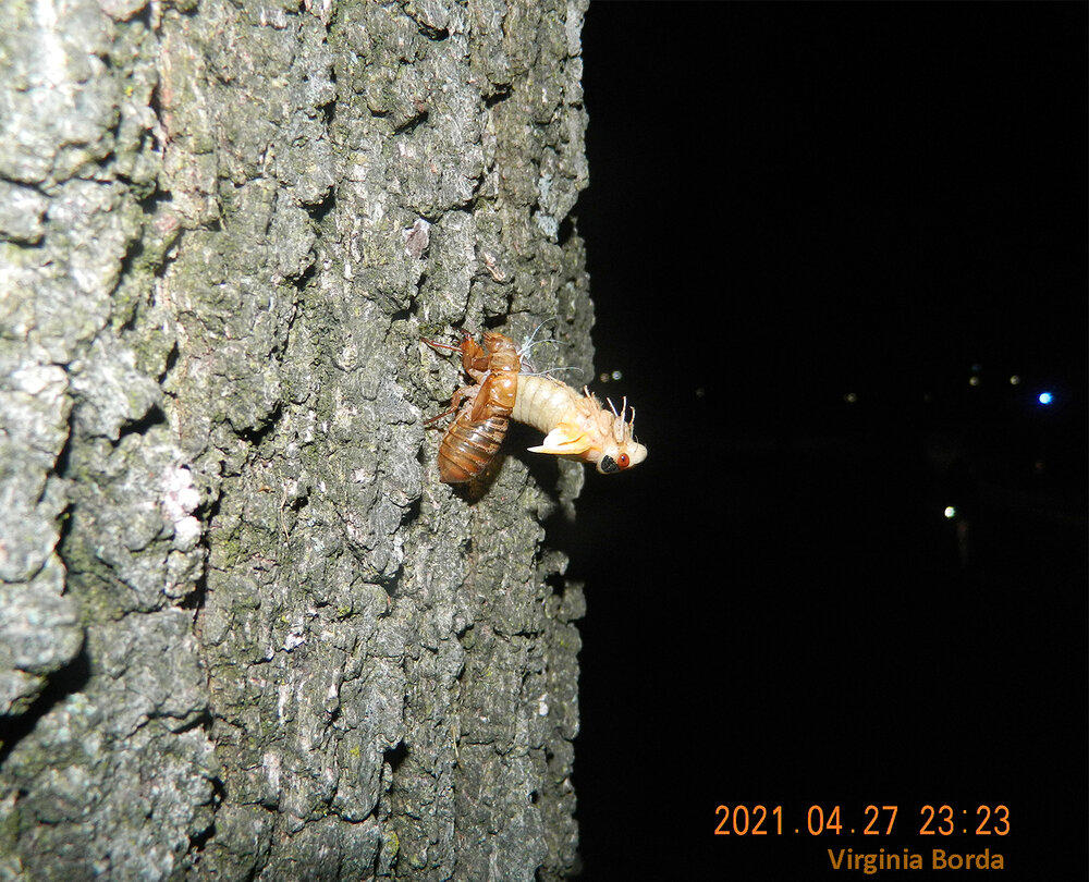 A beautiful Brood X cicada sheds its exoskeleton on an ancient oak tree at the University of Maryland, College Park. Photo credit: Virginia Borda