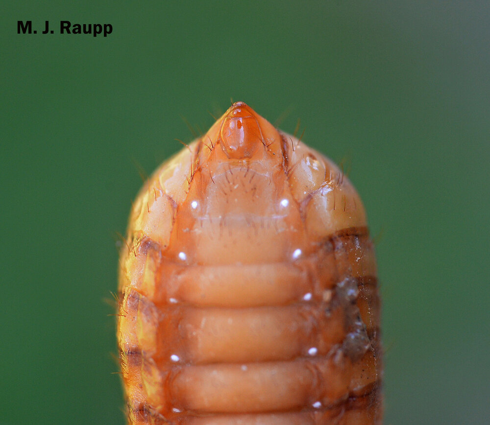 When viewed from beneath, male cicada nymphs have a small bump near the tip of their abdomen.