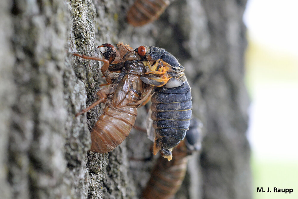 Many cicadas fail their final molt and die, cutting short a 17 year marathon within sight of the finish line.