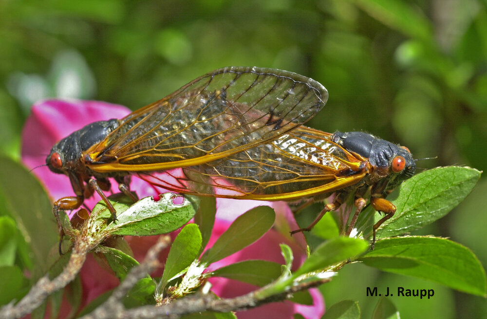 On pretty spring days over the next several weeks throughout the eastern half of the United States, mating pairs of periodical cicadas will be a common scene.