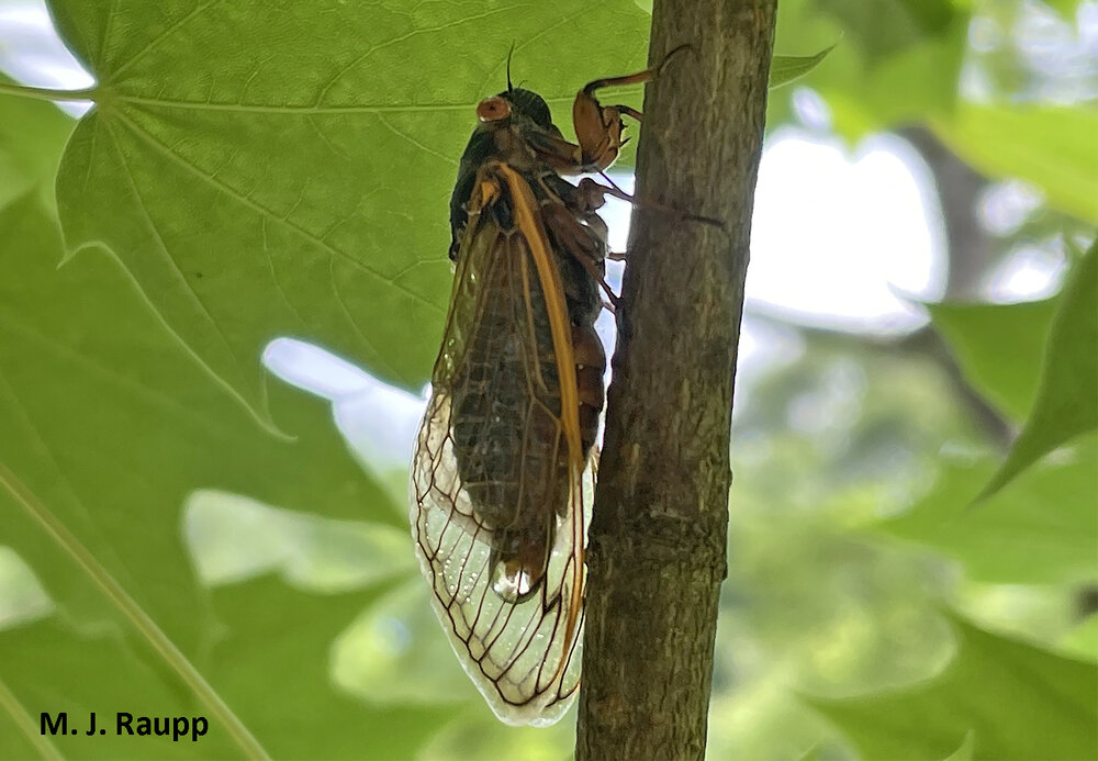 """A droplet of """"pee"""" accumulates just before dropping from the rear-end of a cicada."""