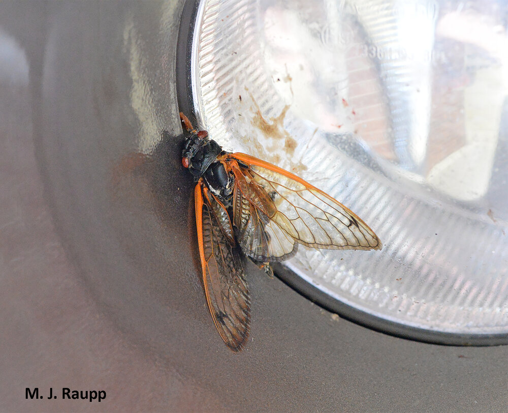 For many flying cicadas, the journey ends on the windshield or headlight of a car.