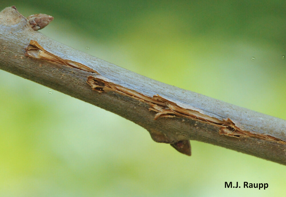 The egg-laying appendage of the cicada, called an ovipositor, slits tender branches to create egg nests that serve as the nursery for developing eggs.