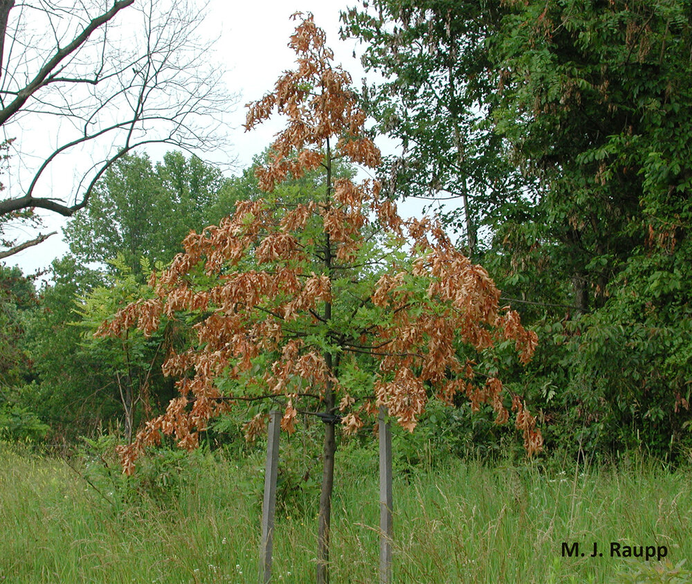 Young, recently planted trees may sustain heavy damage where cicadas are abundant.