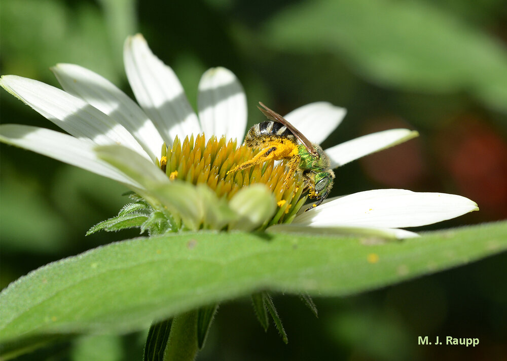 To enjoy beautiful native bees like Agapostemon , why not plant some cone flowers?