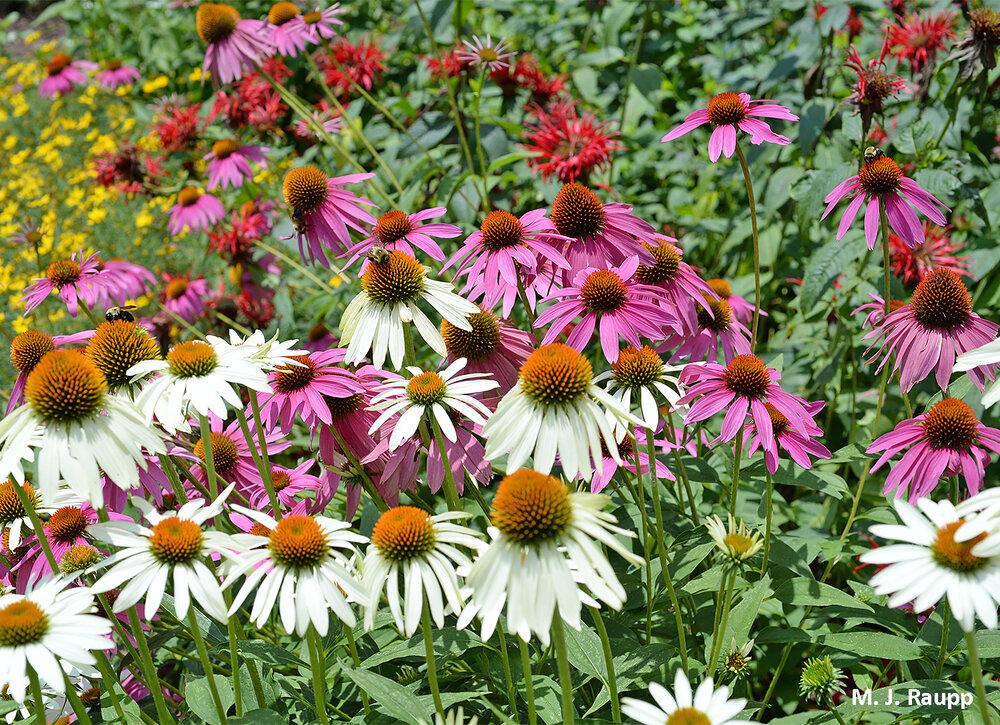 This patch of Echinacea attracts hundreds of pollinators daily from sunrise to sunset.
