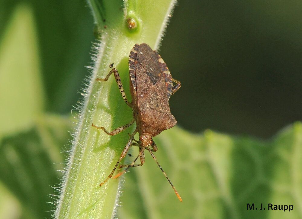Rascally squash bugs can make a mess of your cucurbits.