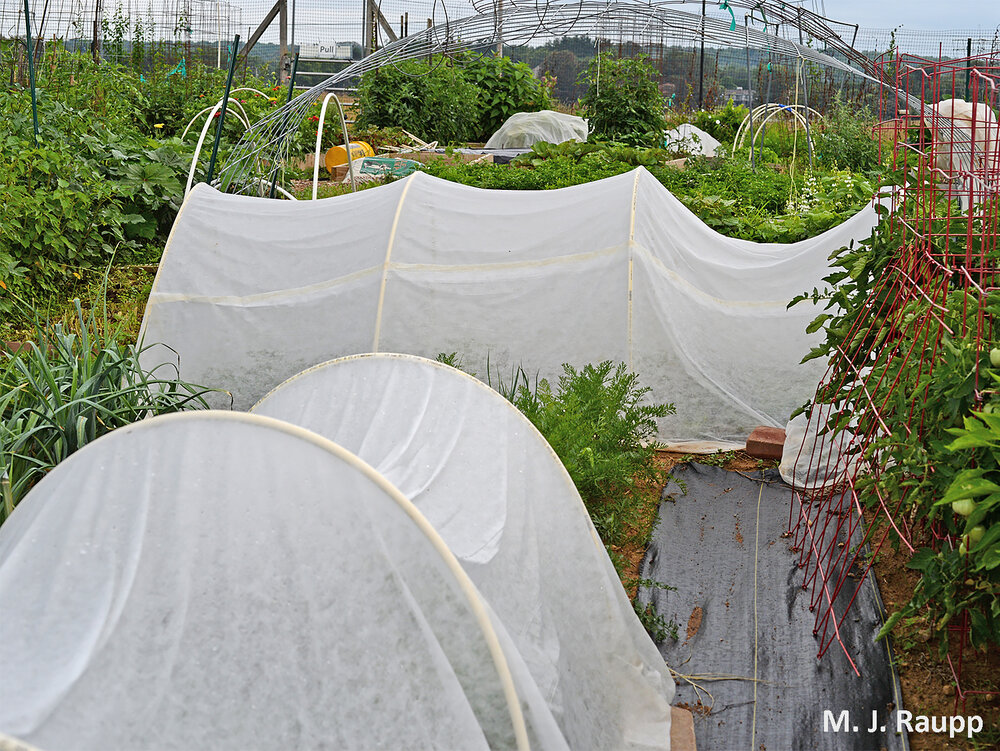 Floating row covers placed early in the season may help keep squash bugs and other insects from infesting your crops.