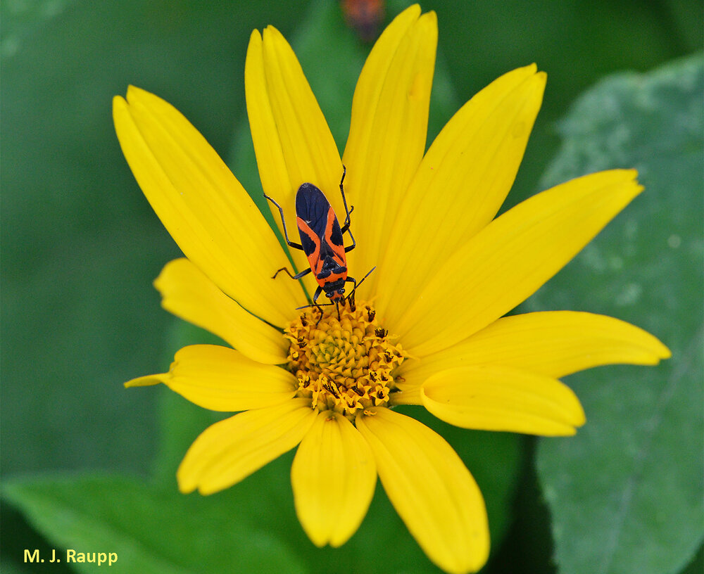 False milkweed bugs truly had me fooled the first time I saw them.