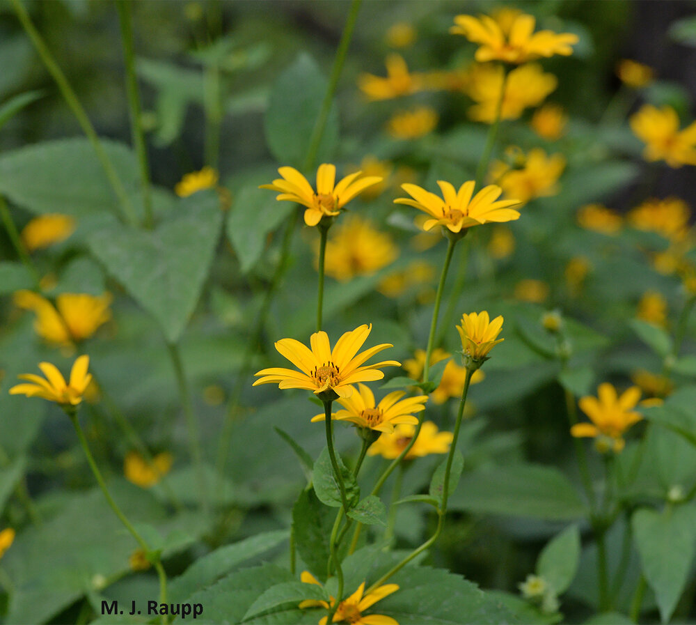 Oxeyes are a spectacular native attractor of beneficial insects and a great place to lose yourself with bugs.
