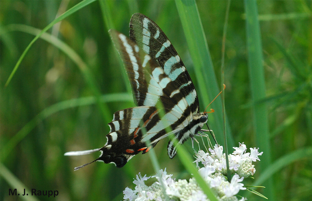Zebra swallowtails consume carbohydrate rich nectar to power their search for pawpaws, the food for their young.
