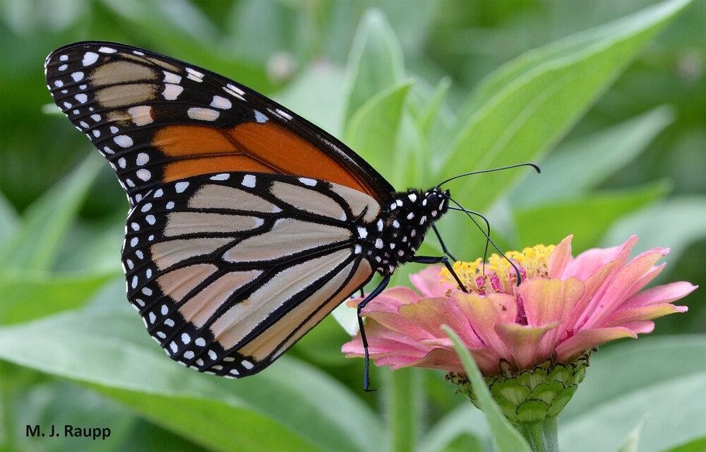 How much longer will beautiful monarchs visit our gardens and landscapes?
