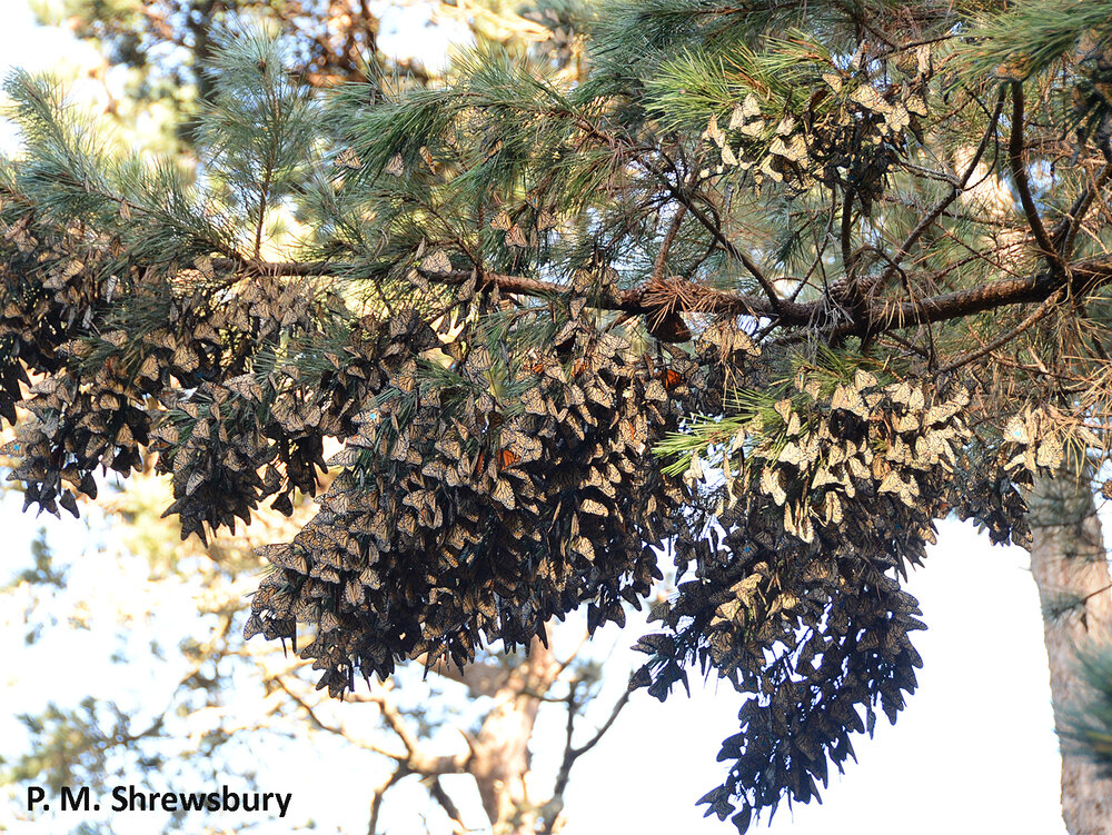 In 2014 thousands of monarchs festooned branches of Monterey pines in the sanctuary at Pacific Grove.