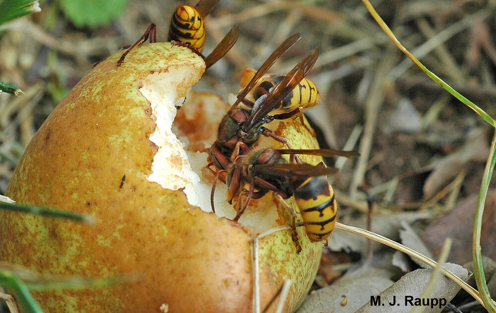 European hornets and other stinging insects are often found dining on fallen fruit beneath trees. Be careful near fruit trees during late summer and autumn when fruit is on the ground.