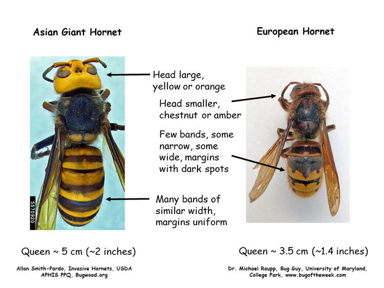 European hornets are sometimes mistaken to be Asian giant hornets, a.k.a. murder hornets. This side-by-side comparison will help you to distinguish between the two.