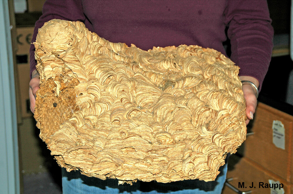 This large European hornet nest came from a wall void in my neighbor's home.