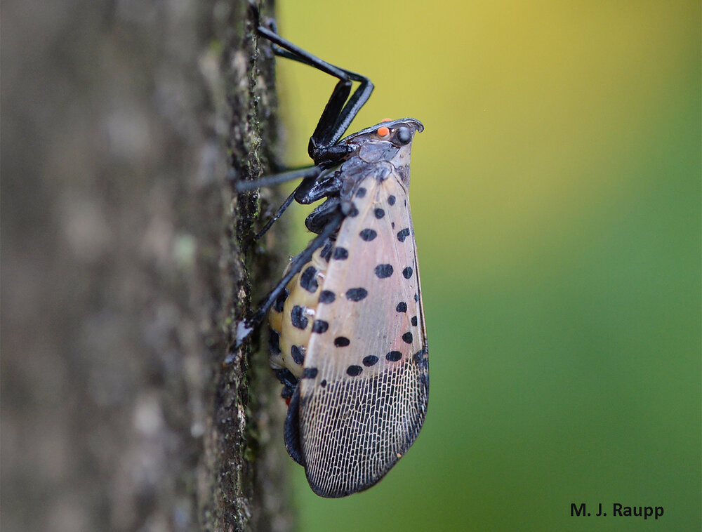 Like thousands of her kin in the eastern half of the United States, this very pregnant female lanternfly rests on the bark of a tree before depositing a bumper crop of eggs.