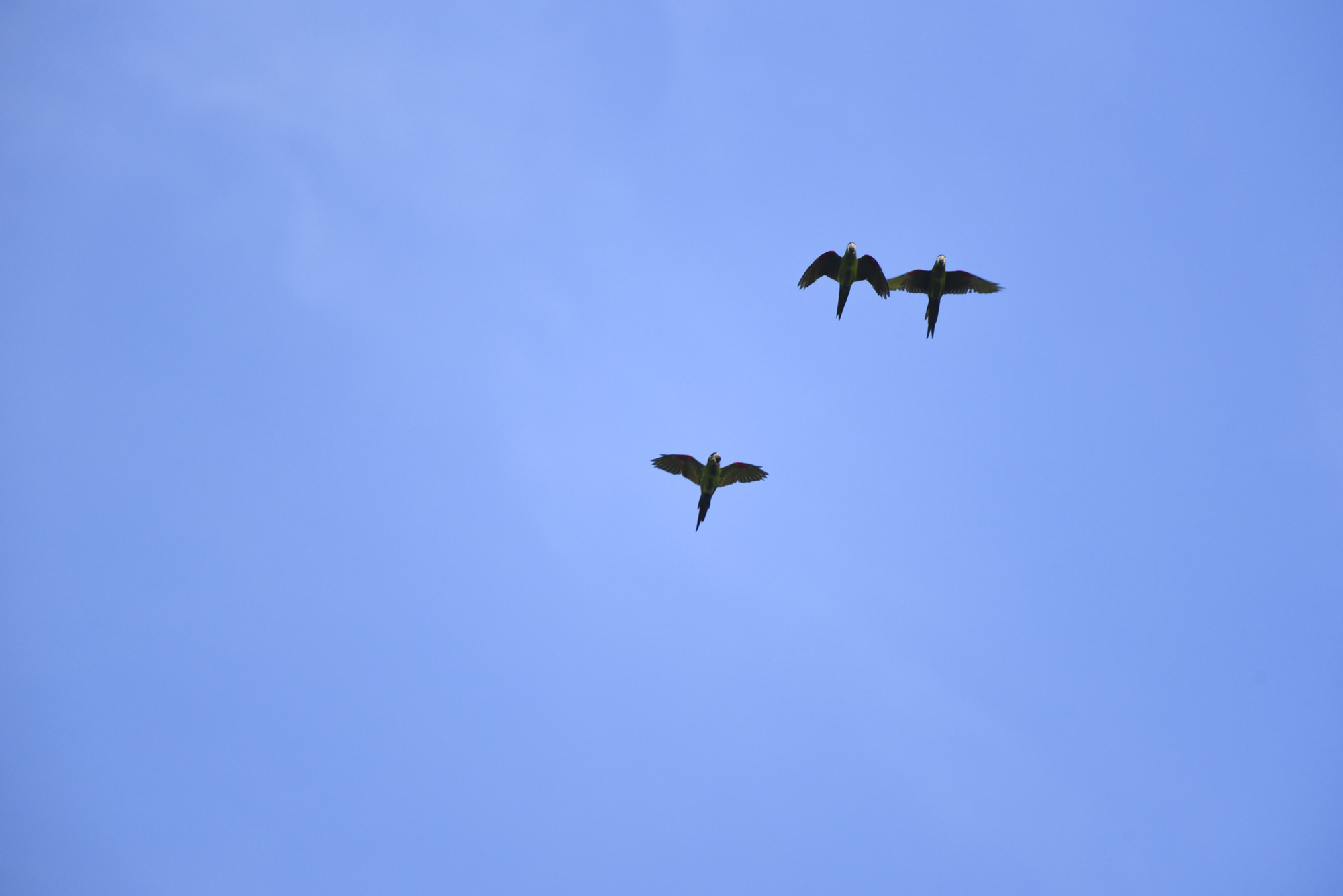 Red-shouldered macaws ( Diopsittaca nobilis ), the smallest of the macaws, are endemic to Pampas de Heath but have recently been spotted in new locations, presumed to be spreading their range.