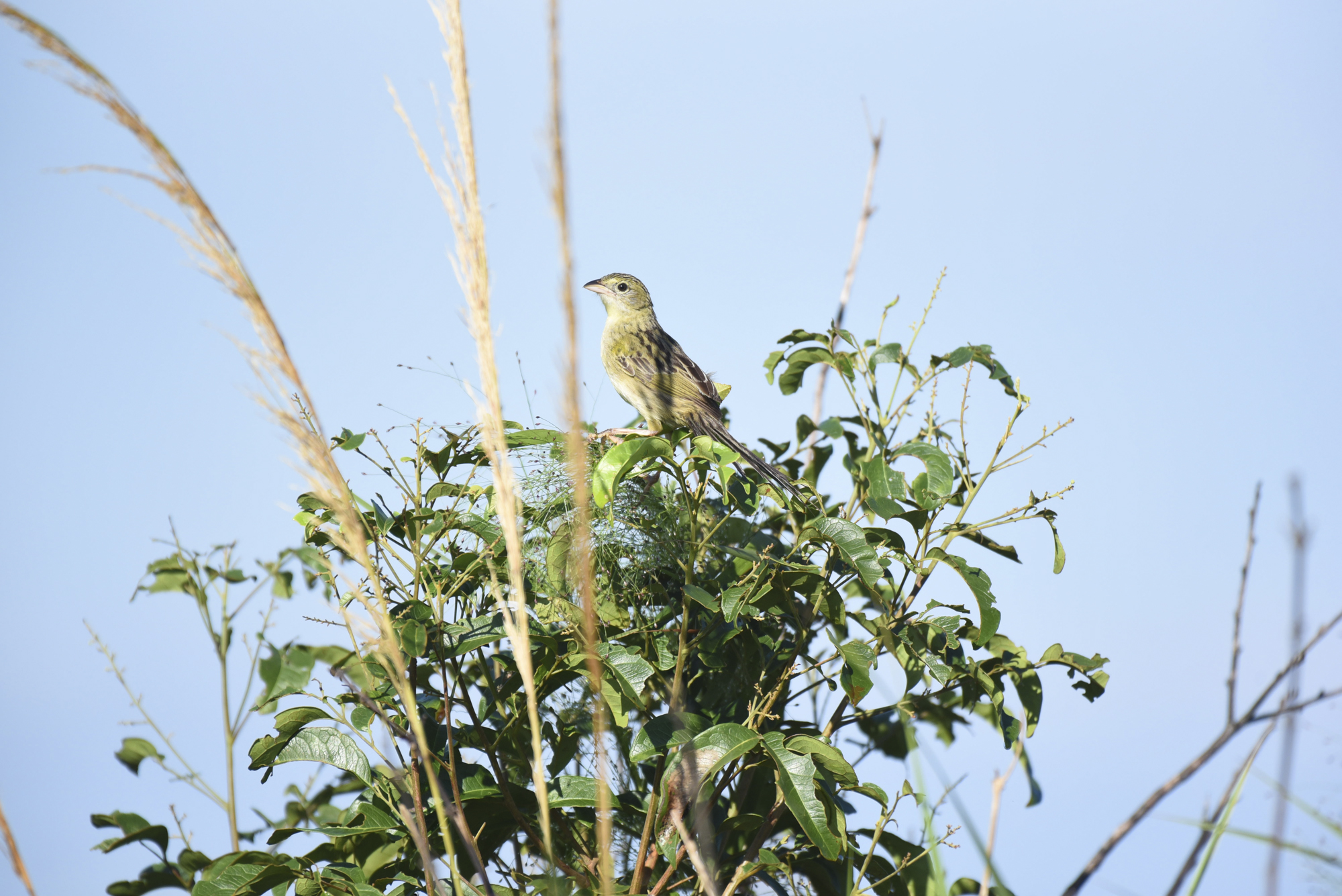 A Wedge-tailed grass-finch ( Emberizoides herbicola ) perches near its flock on the Pampas de Heath. This species is endemic to the region and three other small grasslands habitats throughout Peru.
